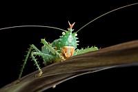 Spiny devil katydid, Panacanthus cuspidatus, Napo, Ecuador.