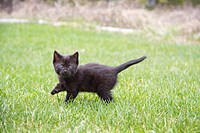 A black kitten outdoors in a yard.