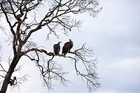 Hooded Vultures Necrosyrtes monachus, Masai Mara National Reserve, Kenya