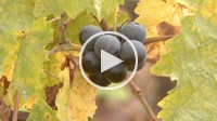 Grape on a vine at fall, Provence, France