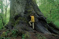 Worlds largest Sitka spruce Picea sitchensis, Quinault River Valley, WA