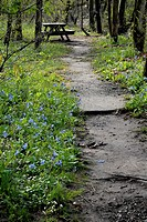 Virginia bluebells grow by a path leading to a picnic bench, Pennsylvania, USA