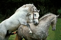 LIPIZZAN HORSE, MARE AND STALLION MATING