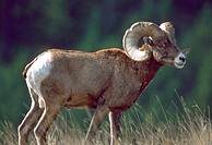 BIGHORN SHEEP Ovis canadensis, ram male in autumn, National Bison Range , southwest Montana, USA