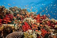Lyretail Anthias in Coral Reef, Pseudanthias squamipinnis, Gau, Lomaiviti, Fiji