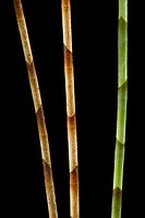 Three Ginger Stems Zingiber