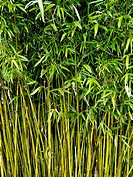 Bamboo stems growing at John Hillier Gardens, Romsey, Hampshire, England