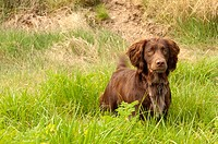 A brown Sprocker Spaniel  Springer spaniel crossed with a Cocker spaniel  in the Uk