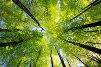beech, beech tree, Buche, Rotbuche, Fagus sylvaticia L ,Switzerland,