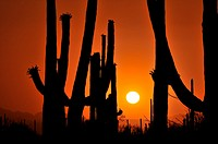 Saguaro cactus, Carnegiea gigantea, tower over the desert in Saguaro National Park West in the Sonoran Desert in Tucson, Arizona, USA