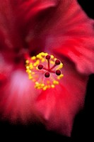 A large Tropical Hibiscus with effects