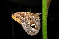 Morpho sp butterfly near view in a butterfly farm,Uvita,Costa Rica,