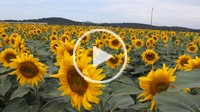 Field of sunflowers in Catalonia, Spain