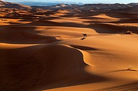 Camel on Erg Chebbi Dunes Sahara Desert Morocco North Africa March