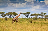 A single giraffe (Giraffa camelopardalis) walking through the scenic landscape of the Tarangire National Park, Tanzania, Africa