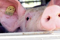 Pigs Transport Europe