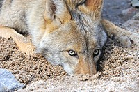Young coyote playing in sand, Los Padres National Forest, California, USA