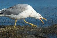California gull feeding on brine flies, Mono Basin National Forest Scenic Area, Mono Lake Tufa State Reserve, CA
