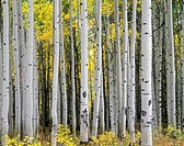 Mature aspen grove displays fall colors, West Elk Mountains, Gunnison National Forest, Colorado, USA