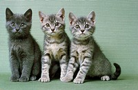 Silver Tabby Domestic Cat, Kitten sitting