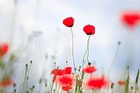 field poppy, Papaver rhoeas, Switzerland,