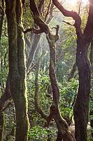 Canary Islands, La Gomera, Garajonay National Park UNESCO Site, Laurel pre-glacial Forest