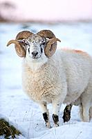 A Ram in snow in Powys, Wales, UK.
