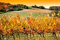 Vineyard, corn fields and cattle near Manciet, Gers, Midi-Pyrenees, France
