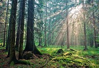 Sunlight shinning across spruce trees, Poland, Podlasie Province, Bialowieza forest