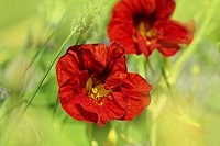 Beautiful red nasturtium close up