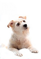 Portrait of mixed breed terrier