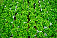 Hydroponic lettuce rows in greenhouse