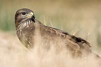 Common buzzard, Buteo buteo, Valencia, Spain