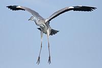 Grey heron in flight, Ardea cinerea, front view