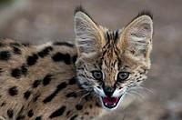 Young Serval Cat Felis serval, Captive, Hoedspruit Endangered Species Centre, Kapama Game Reserve, South Africa