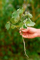 Taproot system of a weed plant