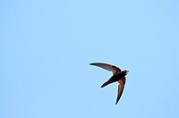 Common Swift - Apus apus, Crete