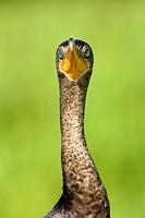 Double-crested Cormorant - Green Cay Wetlands, Delray Beach, Florida USA