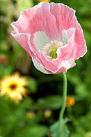 The delicate pink and white petals of an annual Poppy