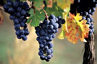 The bunch of red wine grapes in the evening sun on the foothills of Male Karpaty, Slovakia