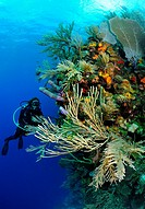 Scuba diver along wall, Roatan, Bay Islands, Honduras