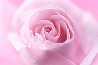 Beautiful, soft pink rose close up