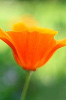Beautiful orange poppies in the garden