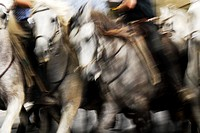 Powerful Camargue white horses are raced by the Gardiens, the French cowboys of the Rhone river delta.