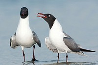 Laughing Gulls Larus atricilla courting on the beach at Fort Desoto Park, Tierra Verde, Florida, USA