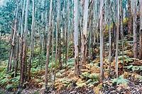 Eucalytus in the Moriñón hill  Gijón  Asturias  Spain