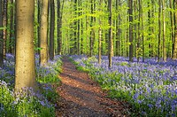Path through a carpet of Bluebells in European beech forest, bluebells Hyacinthoides non-scripta and European beech trees Fagus sylvatica, Hallerbos, ...