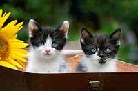 Two young black and white Kittens sitting in a toy suitcase, Germany