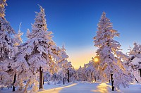 Sun shining through snow covered spruce forest, Fichtelberg, Oberwiesental, Erzgebirge, Saxony, Germany