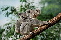 Koala, phascolarctos cinereus, Female carrying Young on its Back
